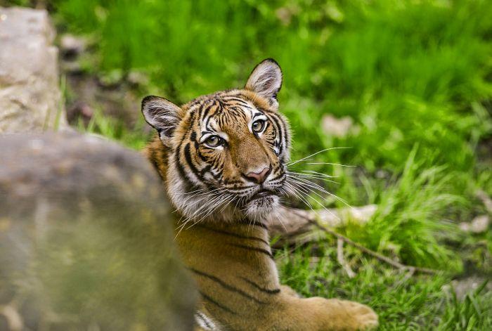 Tigresa Nadia, do zoológico do Bronx