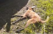 Lobo-guará morre atropelado em Cunha