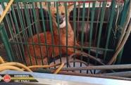 Mais um lobo-guará é capturado em área urbana no Vale do Paraíba