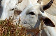 Produtores rurais devem ficar atentos ao prazo de vacinação contra febre aftosa